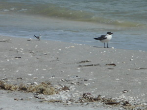 Least Tern with Laughing Gull for scale