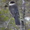Gray Jay - Canada's National Bird?